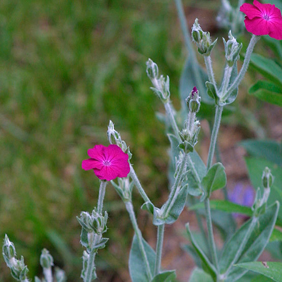 Rose campion finegardening gray green spear shaped leaves form a low tidy circular mound about 1 foot in diameter this plant puts on a dazzling show of five petaled magenta mightylinksfo