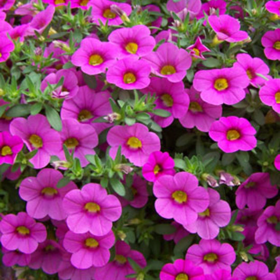 Million bells calibrachoa finegardening million bells were the very first calibrachoa series on the market this exciting new plant category was created in 1993 by the breeders at suntory flowers mightylinksfo