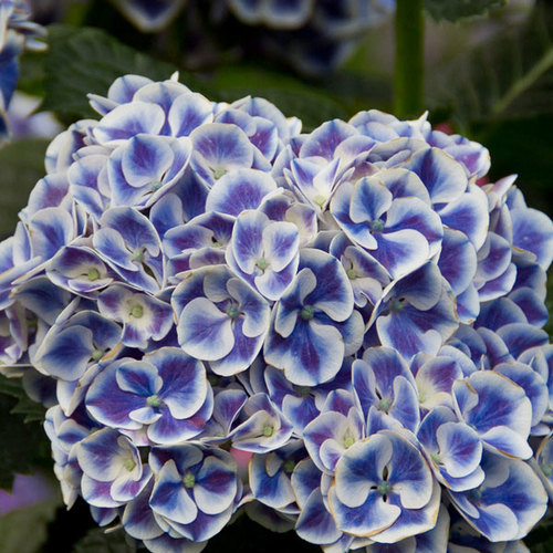 Blue Enchantress 174 Hydrangea Finegardening