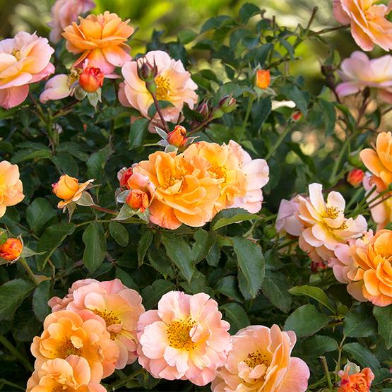 Flower Carpet Amber Groundcover Rose Finegardening