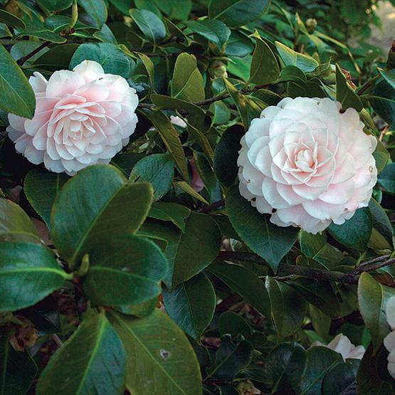 camellia finegardening. Black Bedroom Furniture Sets. Home Design Ideas
