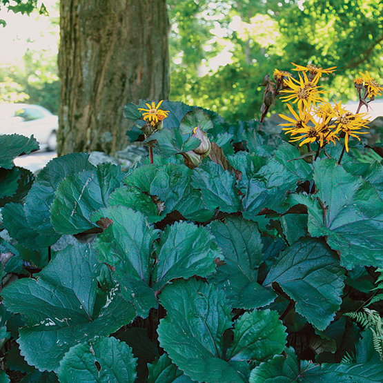 Ligularia Dentata 'Britt Marie Crawford'