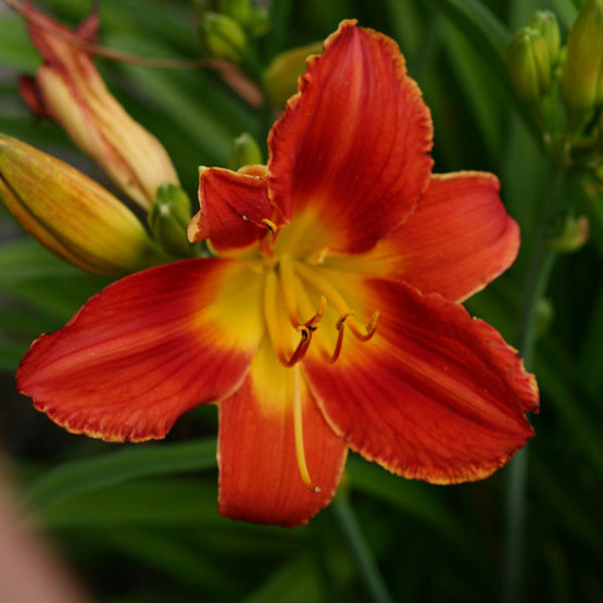 Daylily finegardening this daylily has large red flowers with a yellow center and yellow accents mightylinksfo