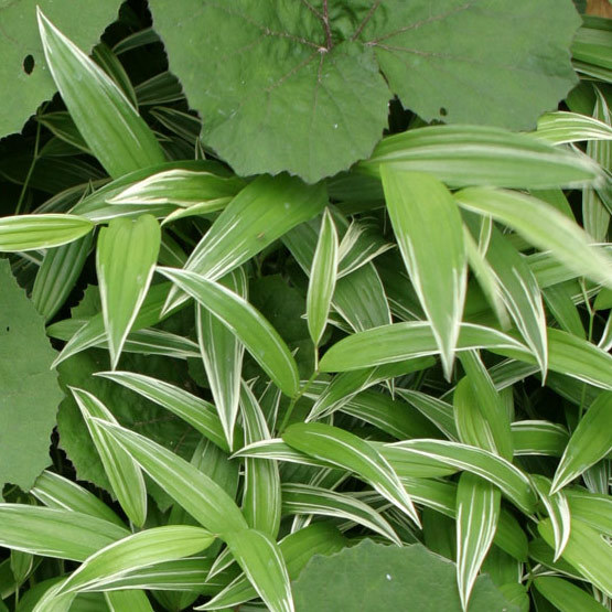 Variegated fairy bells finegardening this cultivar adds attractive white striped foliage to shady areas as well as pendent white bell shaped flowers in late spring and early summer mightylinksfo