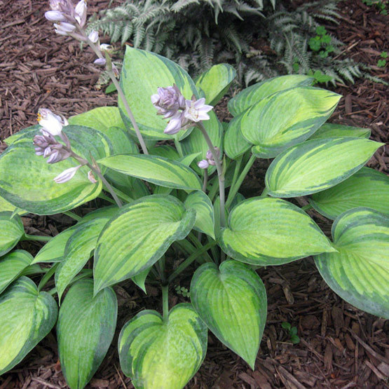 Plantain Lily Finegardening