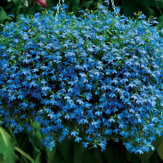 Lobelia Techno Blue Finegardening