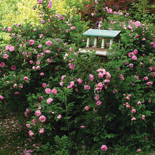 Roses In Garden: 'Wasagaming' Rugosa Rose