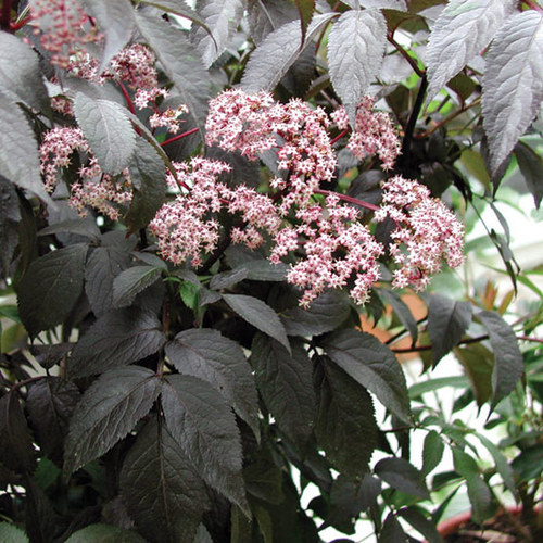 Black Beauty™ elderberry