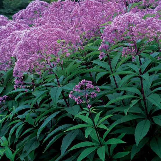 Gateway joe pye weed finegardening this cultivar of the eastern north american native joe pye weed is shorter and bushier than the species from late summer into fall its domes of dusky pink mightylinksfo