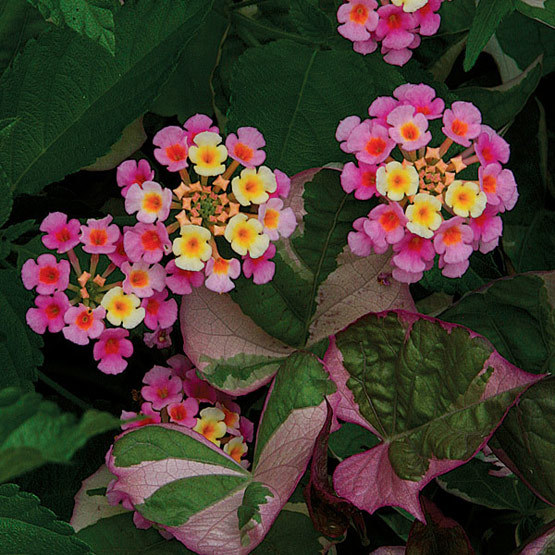 Pink caprice lantana finegardening the pale pink and yellow flowers of this evergreen perennial attract butterflies from late spring to frost lantana camara is mostly grown as a summer mightylinksfo