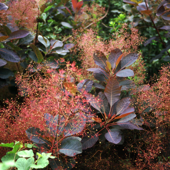 Grace Smoke Tree Finegardening