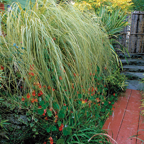 'Gold Band' pampas grass