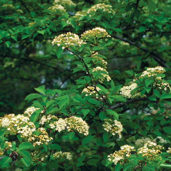 Blackhaw viburnum finegardening blackhaw viburnum is a large shrub or small tree with clusters of creamy white flowers followed by pink rose berries which birds love to eat mightylinksfo