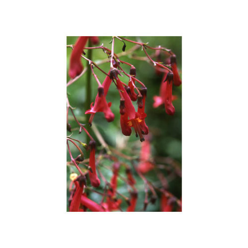 Cape Fuchsia Finegardening