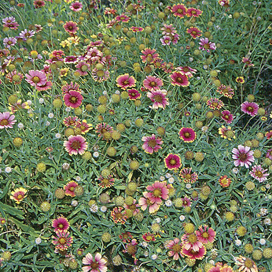 Blanket flower finegardening blanket flower is a bushy annual that produces red or yellow or red and yellow flowers over a long season the blooms are daisy shaped with a dark purple mightylinksfo