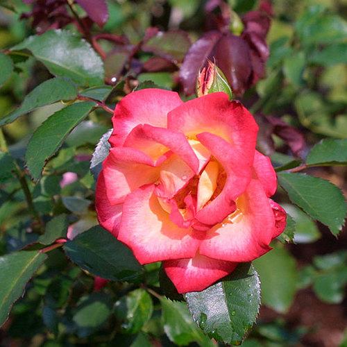Betty Boop Rose Finegardening