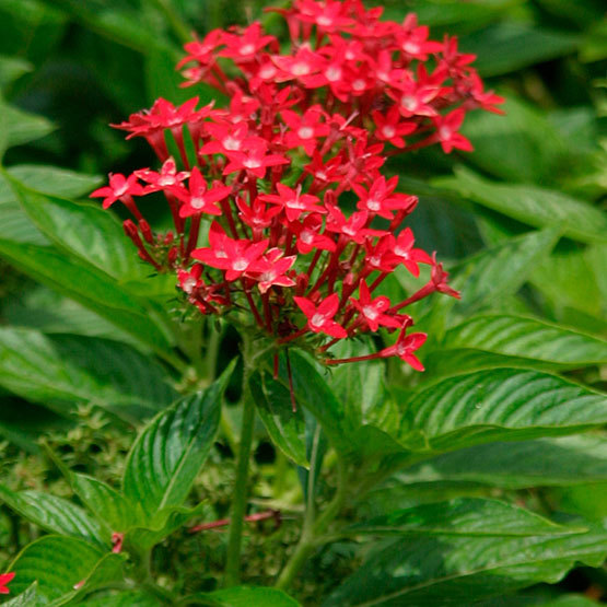 Egyptian star cluster finegardening red star shaped flowers with small white centers bloom atop erect stems from spring to autumn this evergreen perennial or subshrub is often grown as a mightylinksfo