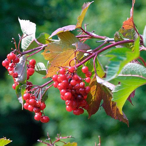 Alder Buckthorn Finegardening