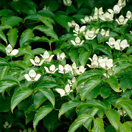 Kousa dogwood finegardening a native of korea and japan kousa dogwood makes an excellent landscape tree and offers a long season of interest beginning in early summer white bracts mightylinksfo