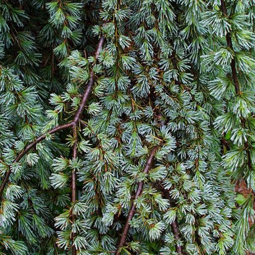 Atlas Cedar seeds Cedrus atlantica