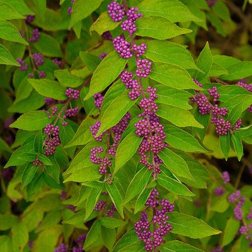 Purple Beautyberry Finegardening