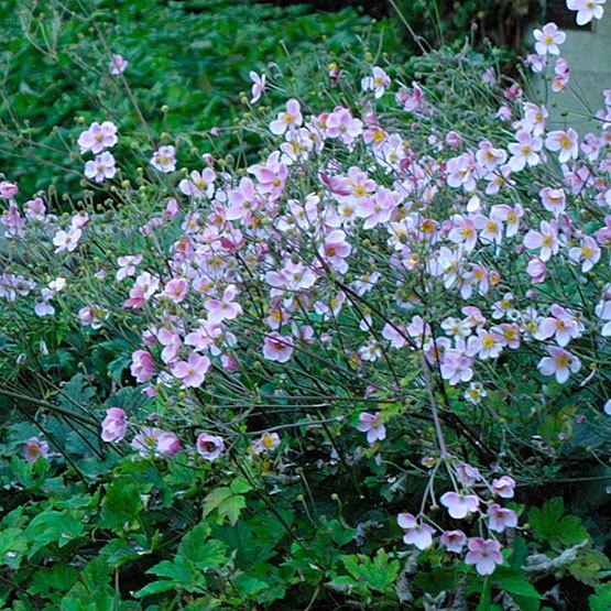 Japanese Anemone Finegardening
