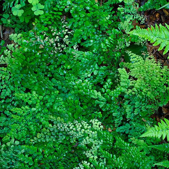 himalayan maidenhair fern finegardening