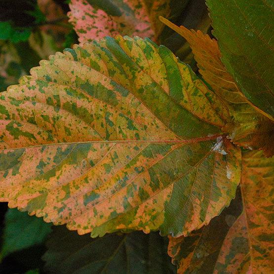 Tricolor Copperleaf Finegardening