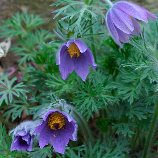 Pasque flower finegardening pasque flower blooms for 4 to 6 weeks in spring with fuzzy flower buds that open to 15 inch wide purple flowers that dance in the breeze mightylinksfo