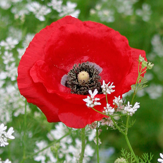 Corn poppy finegardening corn poppy mightylinksfo Choice Image