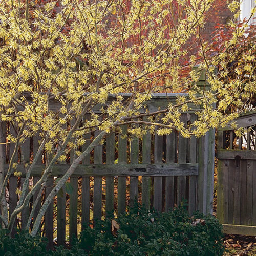 Common Witch Hazel Finegardening