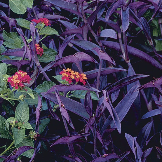 Setcreasea pallida purple heart finegardening purple heart is a trailing tender perennial with purple stems and violet purple leaves that produces pink flowers in summer this plant is mainly grown mightylinksfo Gallery