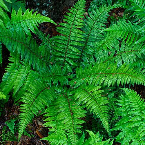 Dixie Wood Fern Finegardening