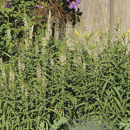 Lysimachia ephemerum willow-leaved loosestrife FREE DELIVERY ON 5 OR MORE PLANTS