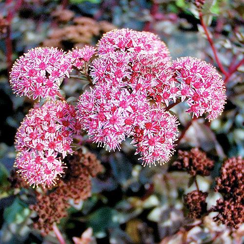 Autumn Joy Stonecrop Finegardening