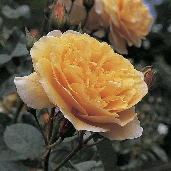 Graham thomas english shrub rose finegardening rosa graham thomas thecheapjerseys Images