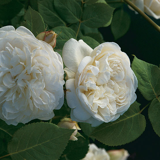 Fair bianca english shrub rose finegardening this david austin rose grows to only 25 feet tall it produces beautifully cupped double white flowers with petals densely arranged in the center mightylinksfo