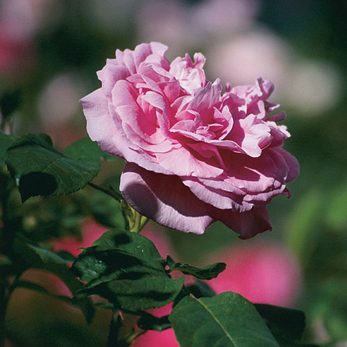 'Gertrude Jekyll' English shrub rose