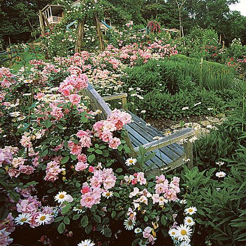 The Fairy Polyantha Rose Finegardening