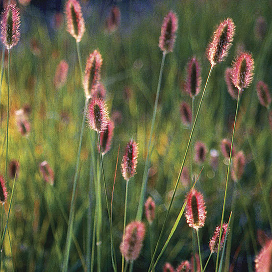 Bunny Tails Ornamental Grass Bunny tails finegardening pennisetum messiacum red bunny tails workwithnaturefo