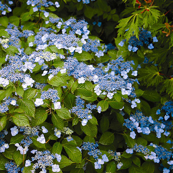 Mountain Hydrangea Finegardening