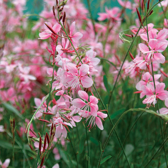 Wand flower finegardening this north american wildflower is a bushy clump forming vase shaped perennial with lance shaped or spoon shaped toothed leaves on slender mightylinksfo