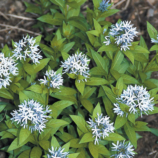 Blue Star Flower Perennial