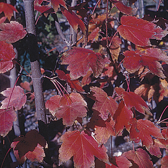 Red Sunset Red Maple Finegardening