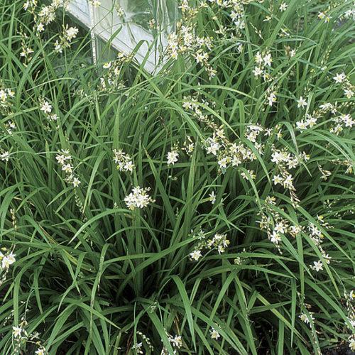 Grass Lily Finegardening