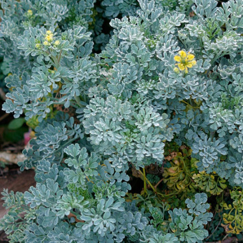Common Rue Finegardening