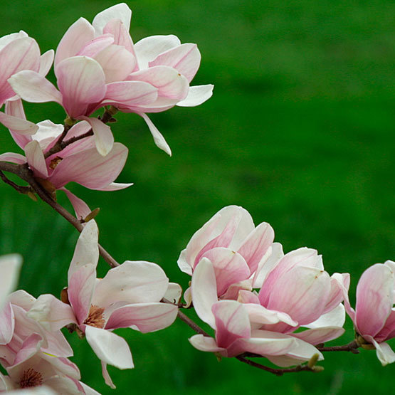 Saucer magnolia finegardening and m lilliflora is the ancestor to numerous cultivars and grows to 25 feet tall in mid spring it bears fragrant saucer shaped white flowers from 3 mightylinksfo