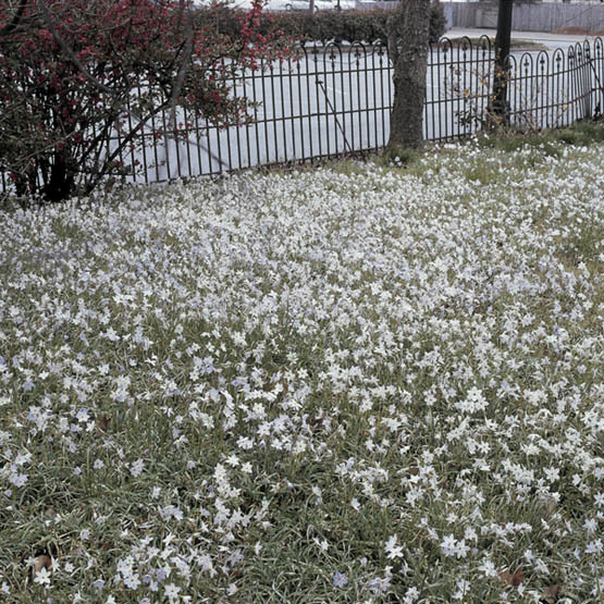 Spring Starflower Finegardening