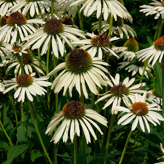 White swan purple coneflower finegardening this cultivar of our native coneflower has white daisy like flowers from early summer into early autumn its prominent coppery green central cones are mightylinksfo