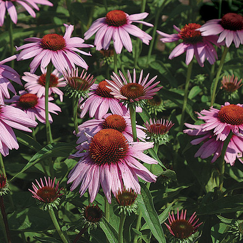 'Magnus' purple coneflower